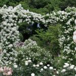白薔薇のアーチ