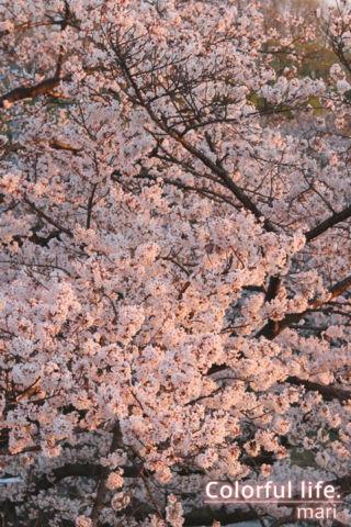 リビングから見える桜(夕暮れ時)