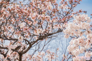 リビングから見える桜(お昼頃)