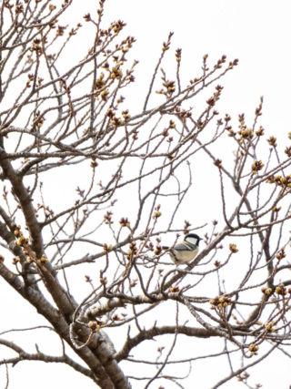 桜とジジュウカラ(2020年3月)