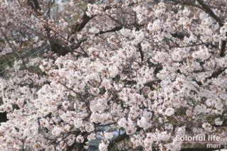 リビングから見える桜1