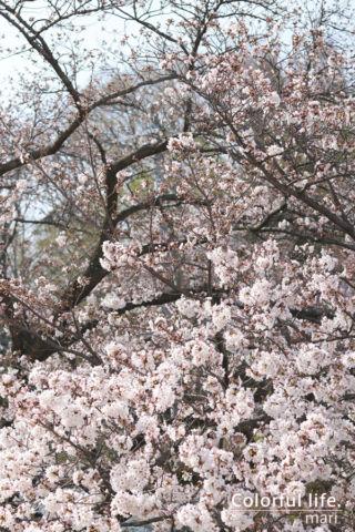 リビングから見える桜2