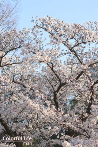 リビングから見える桜4