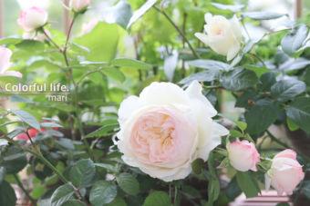 薔薇の季節♪ファイナルはエレガントな大輪ローズ